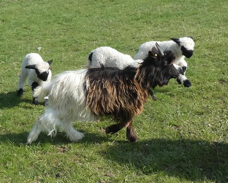 oup's et agneaux2019